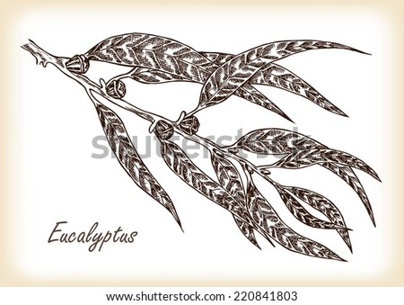 Eucalyptus leaves and fruits hand drawn illustration