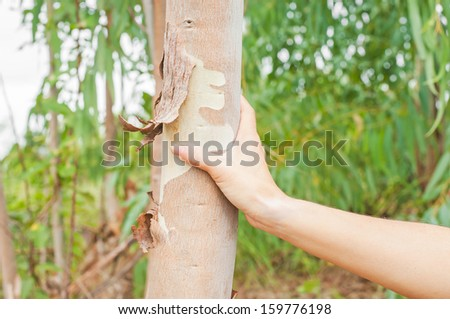 eucalyptus leaves and hand - stock photo