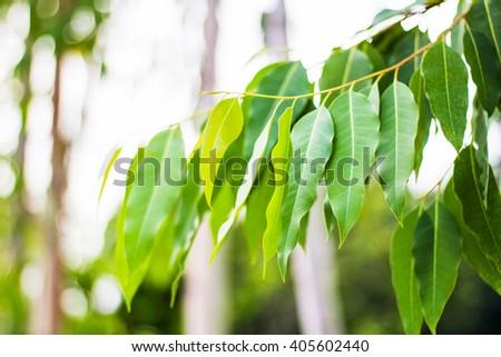 Eucalyptus leaves. Eucalyptus tree, Nature baclground - stock photo