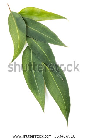 Eucalyptus leaves isolated on white background. Large file.