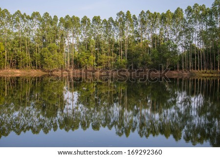 Eucalyptus planted on the edge of the pond. - stock photo