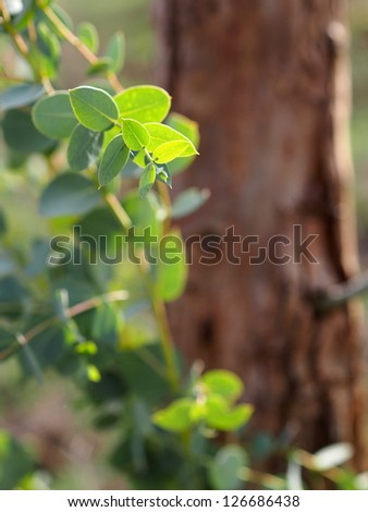 Eucalyptus tree leaves on sunlight - stock photo