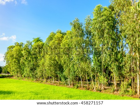 Eucalyptus trees grown on the edge of the green rice field under a blue sky