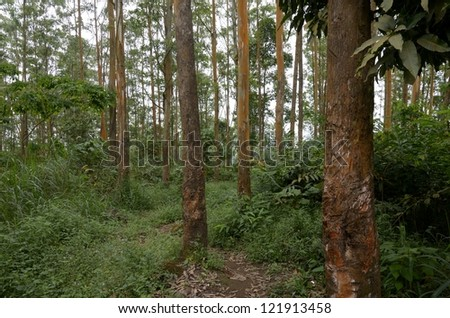 Eucalyptus Trees Mount Cameroon, Outdoor