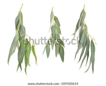 Eucalyptus twigs. Isolated on white background.