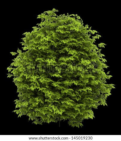 euonymus verrucosa bush isolated on black background - stock photo