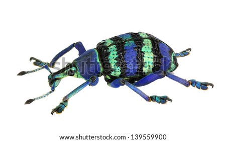Eupholus magnificus, an amazing weevil from Papua New Guinea - stock photo