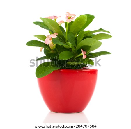 Euphorbia milii (crown of thorns), isolated on white background - stock photo