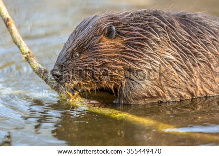 Eurasian beaver (Castor fiber) is one of the largest rodents. It is well adapted to fulfill its role as a vital engineer of wetland habitats - stock photo