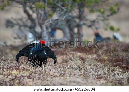 Eurasian Black Grouse - Tetrao tetrix, Sweden