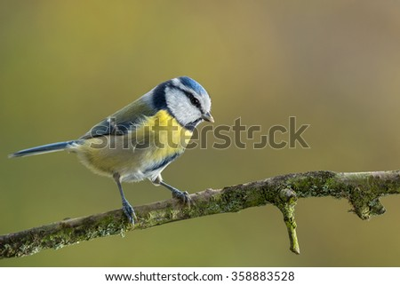 Eurasian blue tit - Cyanistes caeruleus - stock photo