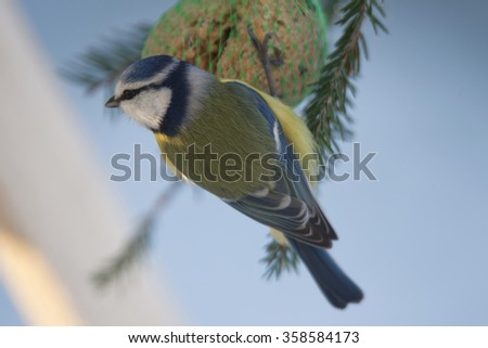 Eurasian blue tit (Cyanistes caeruleus) is a small passerine bird in the tit family Paridae.