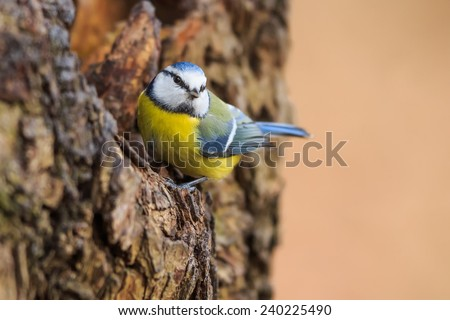Eurasian blue tit front of hole in the bark - stock photo