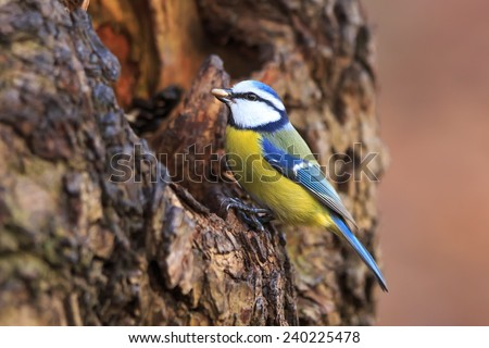 Eurasian blue tit looking for food in the tree hole  - stock photo