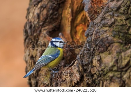 Eurasian blue tit looks into the hole in the tree - stock photo