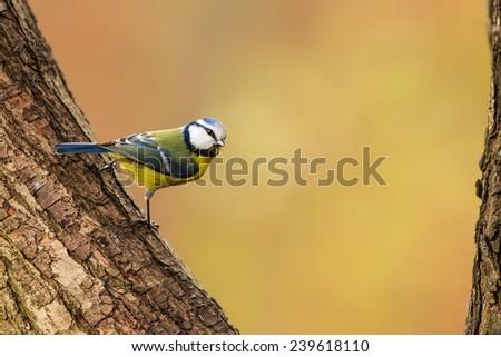 Eurasian blue tit on the tree - stock photo