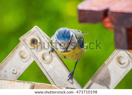 Eurasian blue tit yellow feather bird sitting window sill