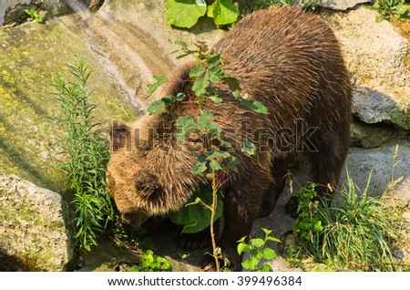 Eurasian Brown Bear standing on a rock while searching for food