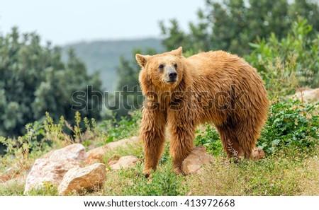 Eurasian brown bear (Ursus arctos arctos) in forest - stock photo