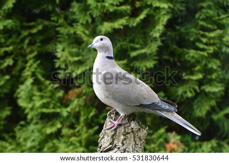 Eurasian collared dove looking for food