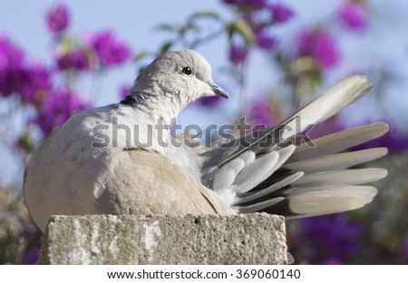 Eurasian Collared-Dove (Streptopelia decaocto) - stock photo