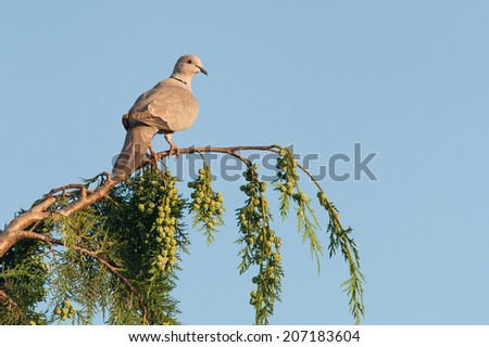 Eurasian collared dove (Streptopelia decaocto) on evergreen tree - stock photo