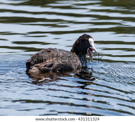 Eurasian coot (Fulica Atra) on water, swimming