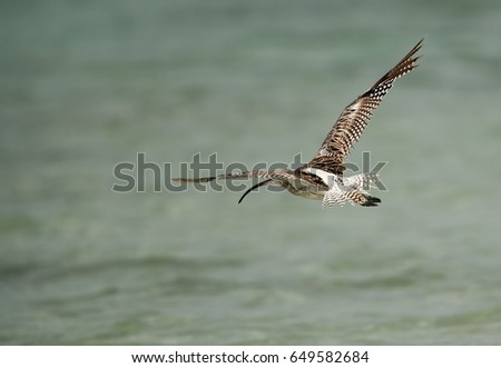 Eurasian curlew flying away