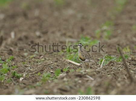 Eurasian Dotterel (Charadrius morinellus) - stock photo