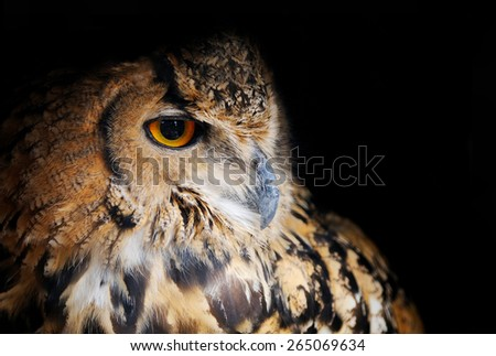 Eurasian Eagle-owl - stock photo