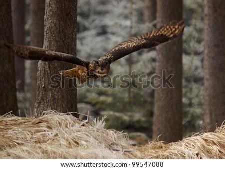 Eurasian Eagle Owl (Bubo bubo) - stock photo