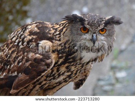 Eurasian Eagle Owl (Bubo bubo) in guard position. - stock photo