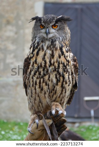 Eurasian Eagle Owl (Bubo bubo). One of the largest species of owl. - stock photo