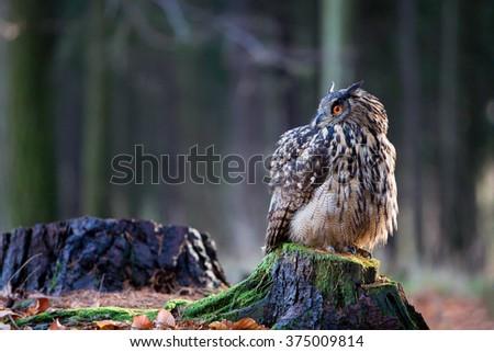 Eurasian Eagle Owl (Bubo Bubo) sitting on the stump, close-up, wildlife photo. - stock photo