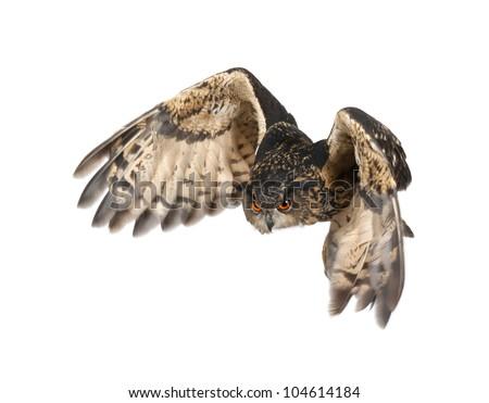 Eurasian Eagle-Owl, Bubo bubo, 15 years old, flying against white background - stock photo