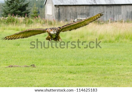 Eurasian Eagle Owl flying / Eurasian Eagle Owl (bubo bubo) also known as the european eagle owl flying over pasture
