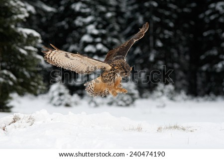 Eurasian Eagle owl hunting with open wings in the forest during winter with snow and snowflake - stock photo