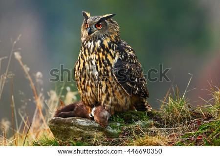 Eurasian Eagle Owl sitting on stone with kill brown Marten during orange autumn. Beautiful Eagle with kill. Eagle Owl in the nature forest habitat. Wildlife scene from nature with owl. - stock photo