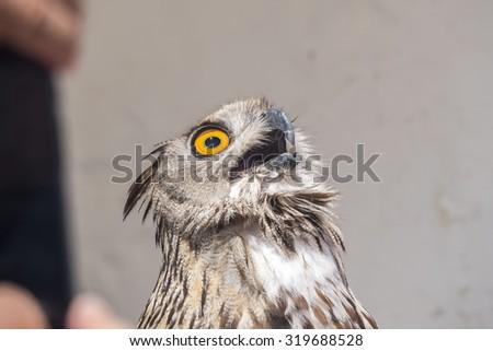 Eurasian Eagle-Owl with open beak, Bubo bubo - stock photo