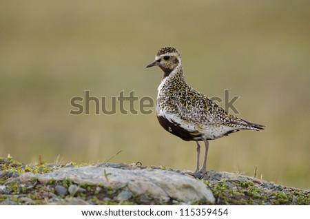 Eurasian golden plover - stock photo