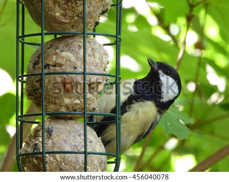 Eurasian Great Tit Male at Fat Ball Feeder - Parus major - stock photo