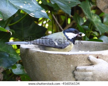 Eurasian Great Tit Male with Peanut in Goody Bowl - Parus major - stock photo