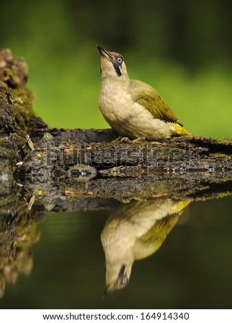 Eurasian green woodpecker, Picus viridis, yaffle, nickle, Europe, Germany - stock photo