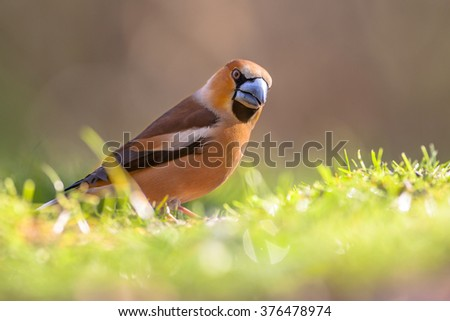 Eurasian Hawfinch (Coccothraustes coccothraustes) walking in a lawn and looking for food in an ecological garden
