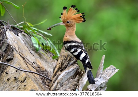 Eurasian Hoopoe or Common Hoopoe (Upupa epops) the beautiful brown bird with spiky hair perching on the log waiting to feed its chicks in the hole nest, beautiful crested bird on the feeding season - stock photo