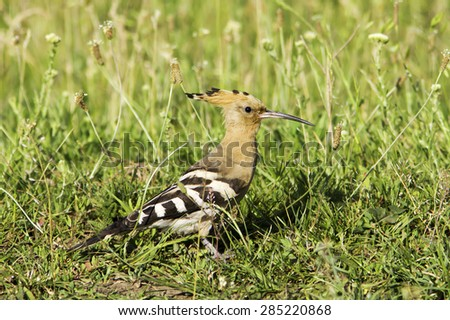 Eurasian Hoopoe (Upupa epops) - stock photo