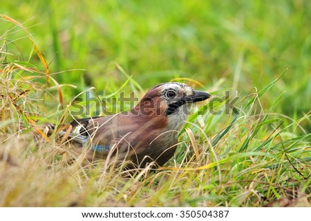 Eurasian jay in grass