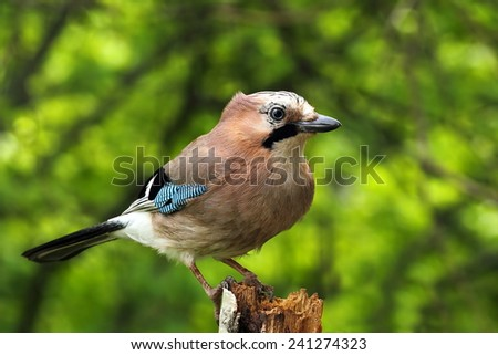 Eurasian jay on a dry stump, green background