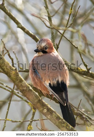 Eurasian jay on a tree branch. Wild bird