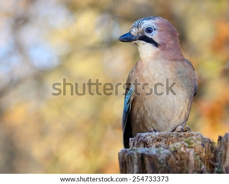 Eurasian jay on the stump